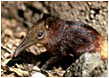 Golden-Rumped Elephant Shrew - Photo: Galen Rathbun