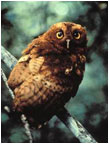 Scops Owl - Photo: Birdlife International